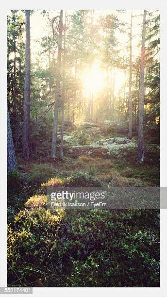 Sun Behind Trees In Forest