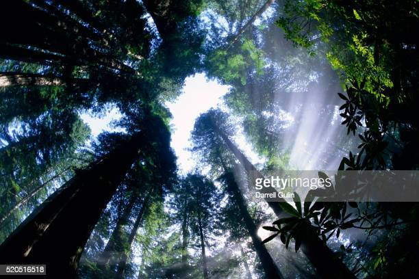Sun Breaking through Redwood Canopy