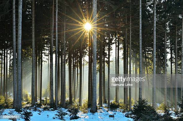 Sun breaks through Coniferous Forest in Winter