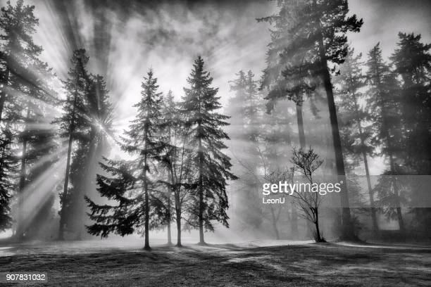 Sun bursts in the rain forest, Vancouver, Canada in black and white.