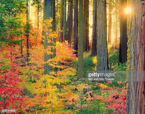 Sun bursts through autumn forest in Yosemite (P)