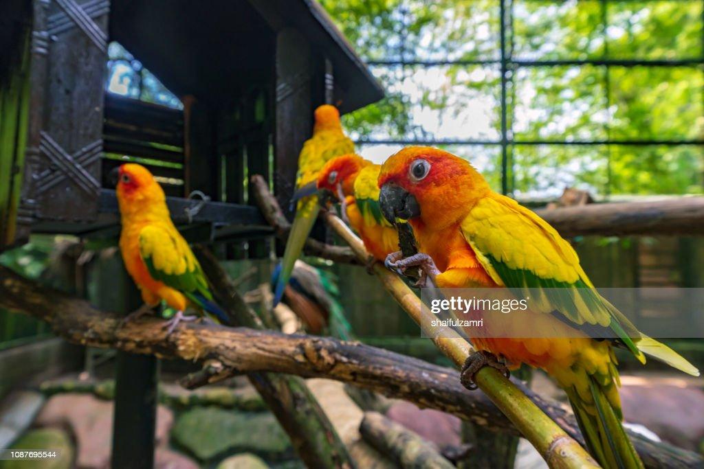 Sun Conure parrot birds on the branch : Stock Photo