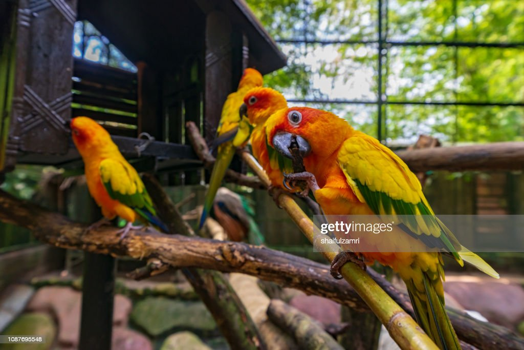 Sun Conure parrot birds on the branch : Stock Photo