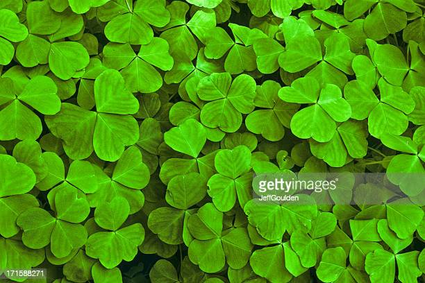 Sun Dappled Shamrock Leaves