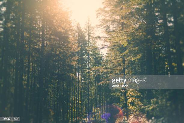 Sun filtering through evergreen trees in Washington State, toned image with lens flare