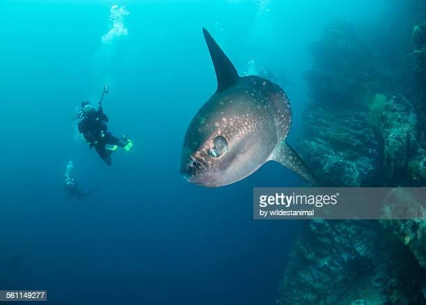 sun fish and divers - pez luna pez fotografías e imágenes de stock