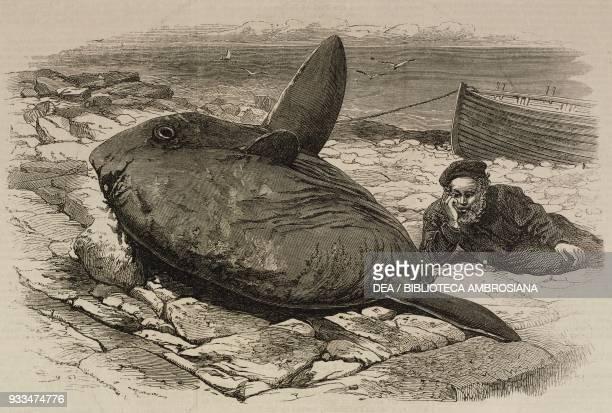 Sun fish captured at Catalan Bay Gibraltar United Kingdom illustration from the magazine The Illustrated London News volume LX June 22 1872