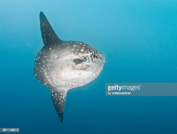 sun fish profile - freshwater sunfish stock photos and pictures