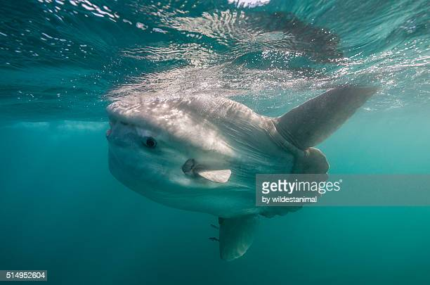sun fish swims to surface - sunfish stock photos and pictures