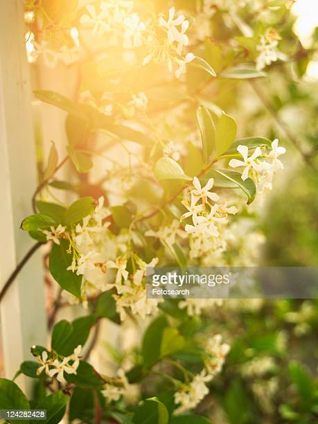 Sun flare through flowering vine and white picket fence.