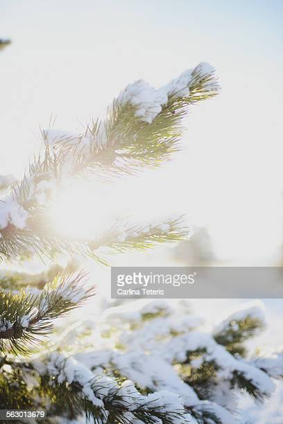 Sun flare through snow covered tree brances