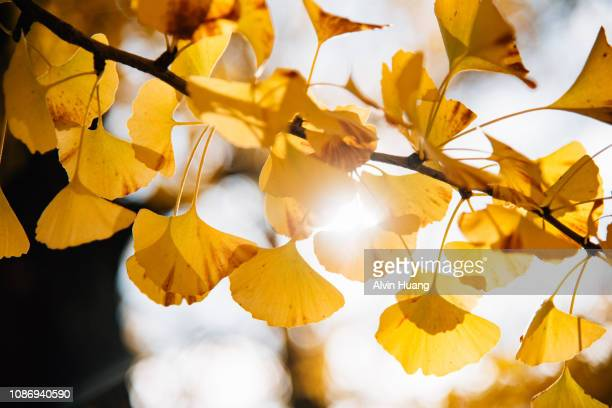 sun flare through yellow autumn ginkgo leaves - ginkgo tree stock pictures, royalty-free photos & images
