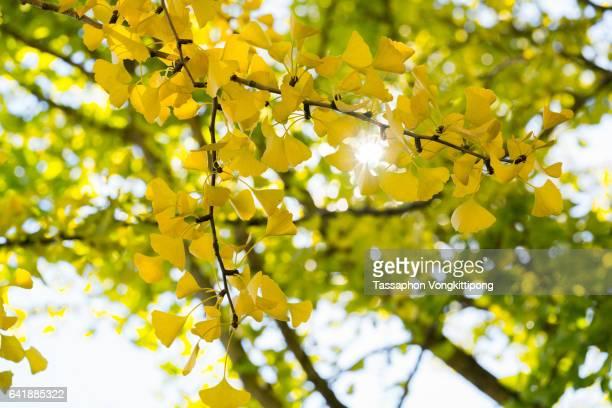 sun flare through yellow autumn ginkgo leaves