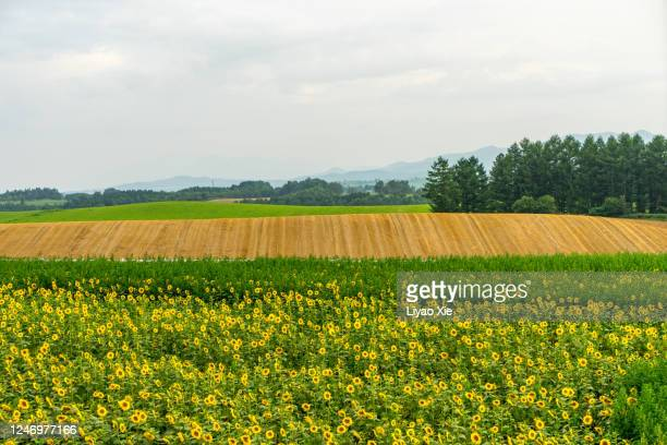 sun flower and crop fields - liyao xie stock pictures, royalty-free photos & images