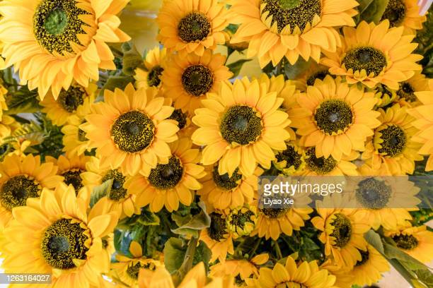 sun flower - liyao xie stock pictures, royalty-free photos & images