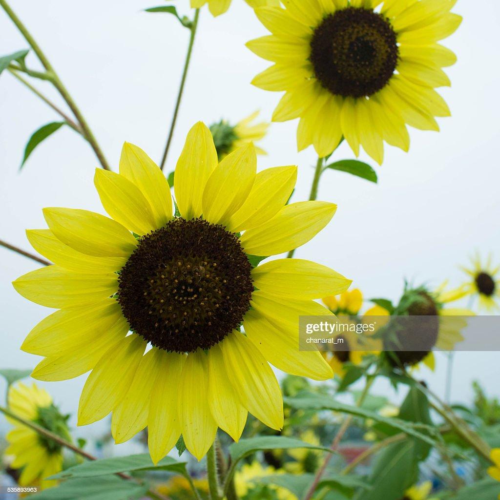 Sun Flower : Stockfoto