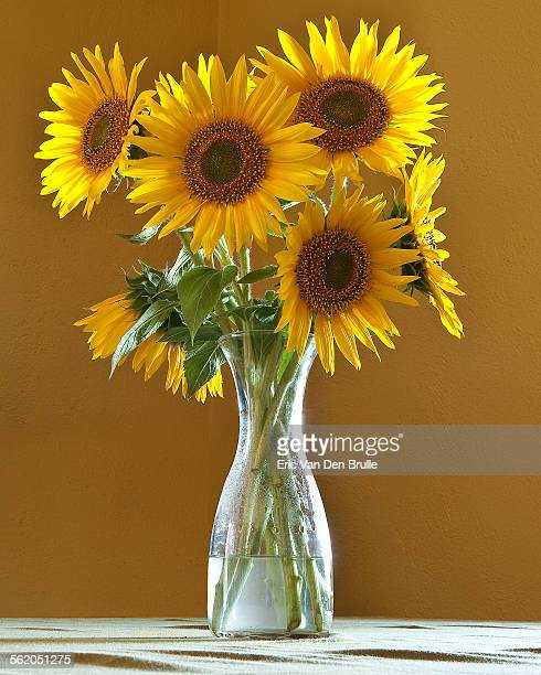 sun flowers in a vase - eric van den brulle stock pictures, royalty-free photos & images