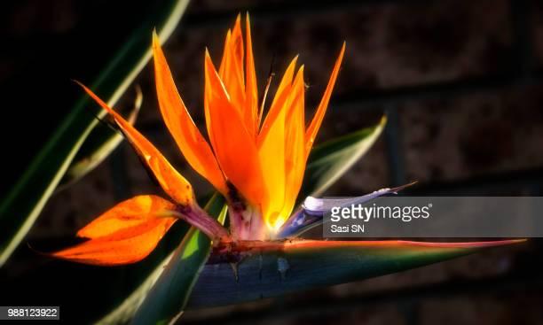 Sun kissed Bird of Paradise ( Strelitzia reginae)
