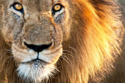 Sun kissed Male Lion 175683200