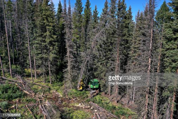 Sun Mountain Logging employee Blaine Leischner drives a feller buncher maching as he clears a stand of lodgepole pine trees killed by the mountain...