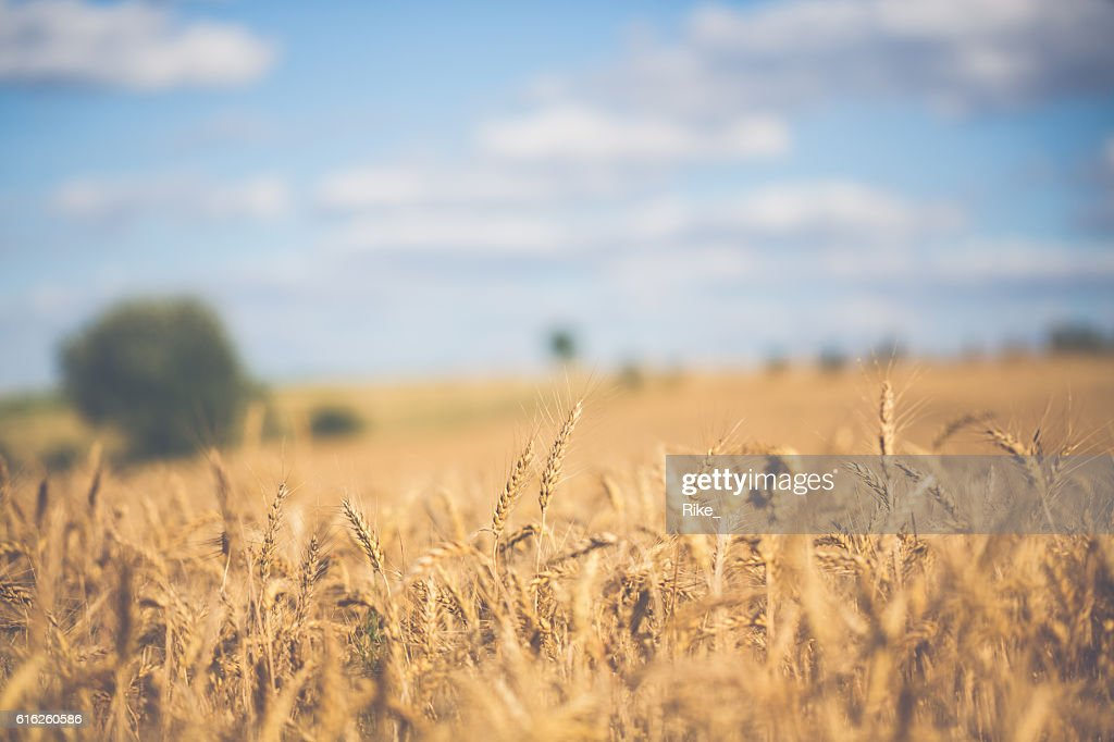 Sun on grainfield with view to a farm : Foto de stock