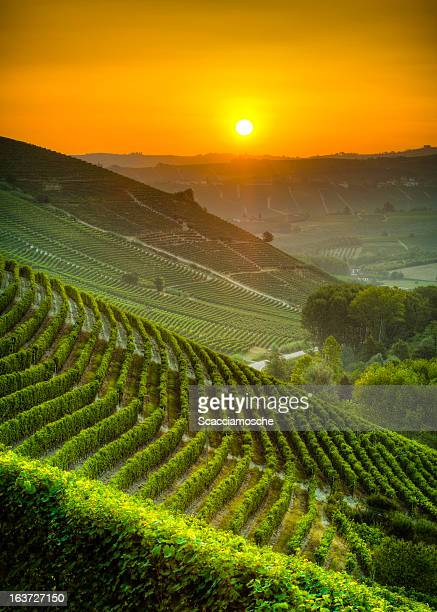 Sun on the vineyards