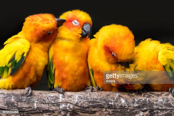 Sun parakeets sun conures flock perched on branch and grooming each other South America