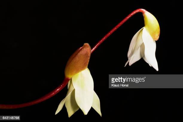 Sun Pitcher plant (Heliamphora minor) flowering
