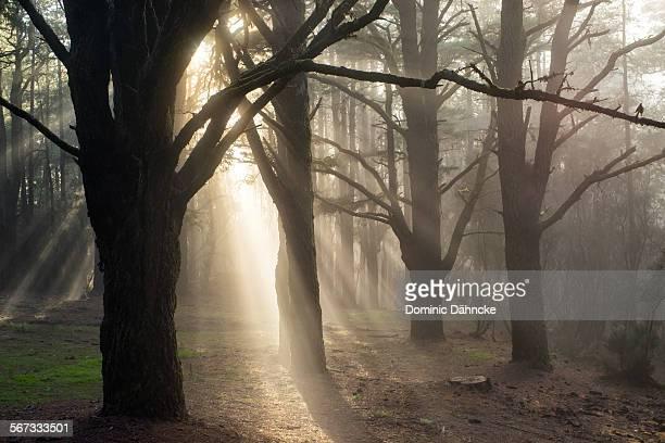 Sun rays between pine trees