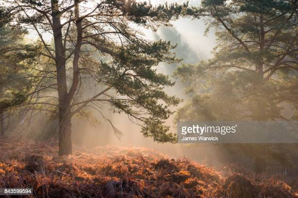 sun rays breaking through scots pines at dawn - ethereal stock pictures, royalty-free photos & images