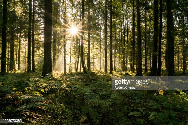 sun rays filter through a coniferous forest in autumn - baden württemberg stock pictures, royalty-free photos & images