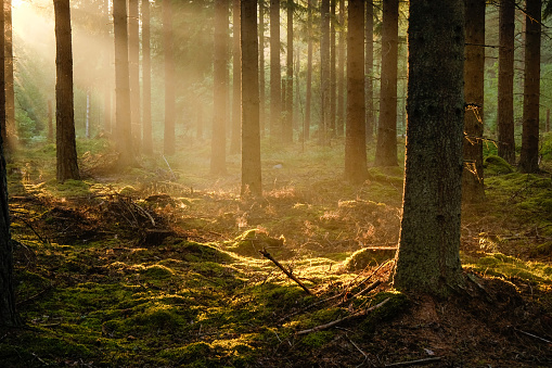 Sun rays in fog in the evening in pine forest in the summer - gettyimageskorea