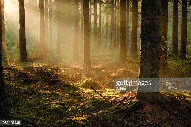 sun rays in fog in the evening in pine forest in the summer - wald stock-fotos und bilder