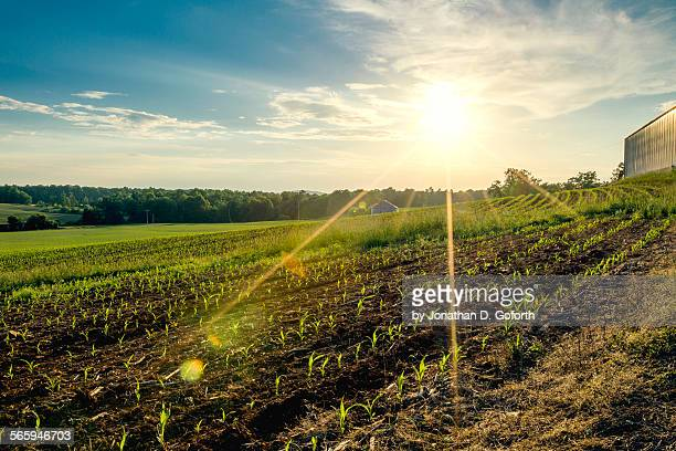 sun rays over corn field - eubank stock photos and pictures