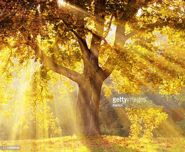 Sun rays shining through a tree with yellow leaves
