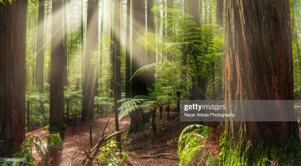 Sun rays sneaking through red wood forest trees. : Stock Photo