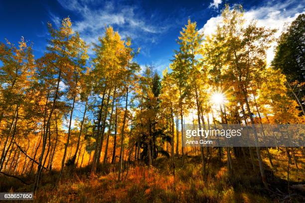 Sun rays through forest of golden aspens in Stanley, Idaho, autumn evening