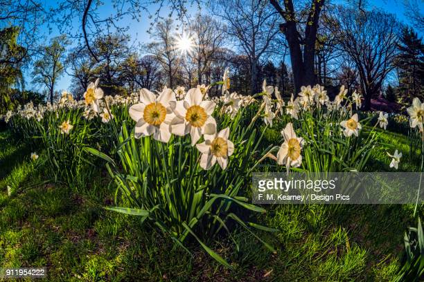sun rising behind large-cup daffodils (narcissus), manon lescaut amaryllidaceae, new york botanical garden - narcissus mythological character stock photos and pictures