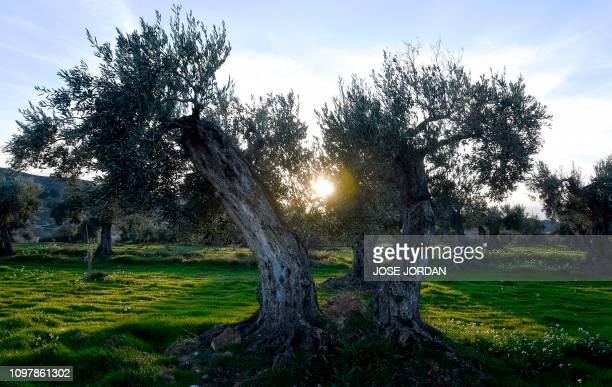 Sun sets in an olive grove in Oliete northeastern Spain on December 17 2018 Residents began moving away from rural towns and villages like Oliete in...