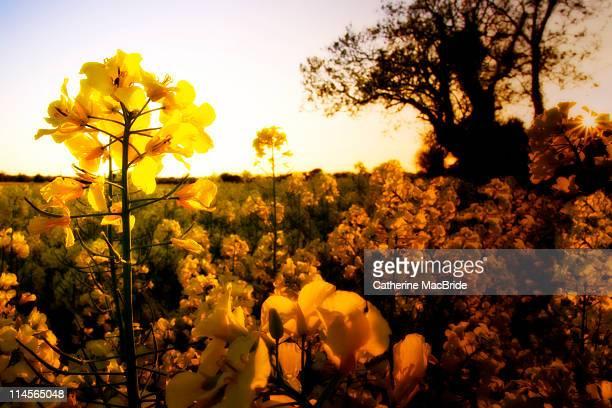 sun setting in yellow rapeseed field. - catherine macbride stockfoto's en -beelden
