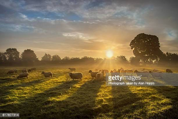 sun, sheep and shadows - northern ireland stock photos and pictures