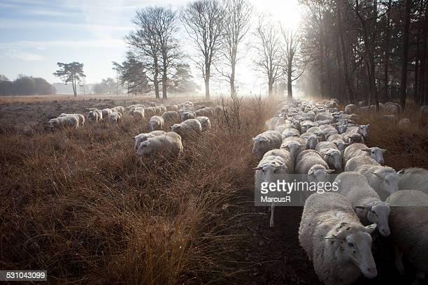 Sun sheep