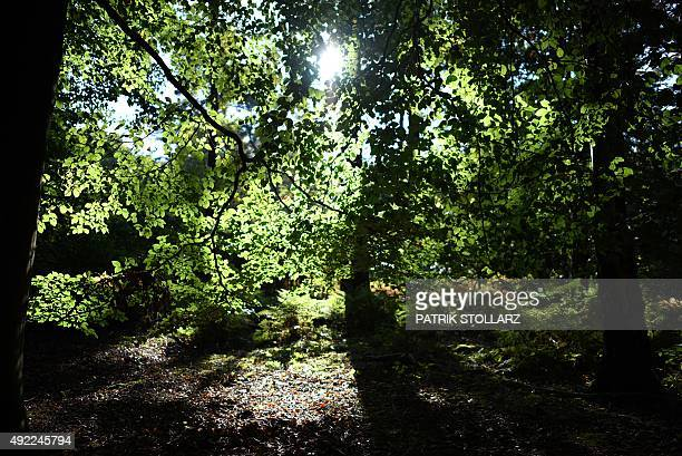 Sun shines behind the trees during a sunny autumn day on October 11 2015 in a forest in Duesseldorf western Germany AFP PHOTO / PATRIK STOLLARZ