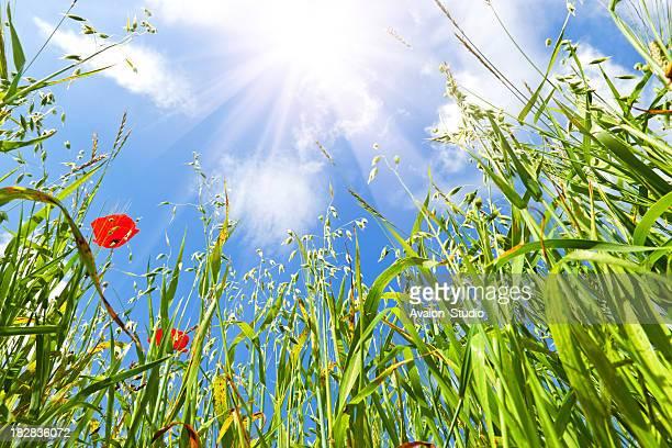 Sun shines on a green field of oats.