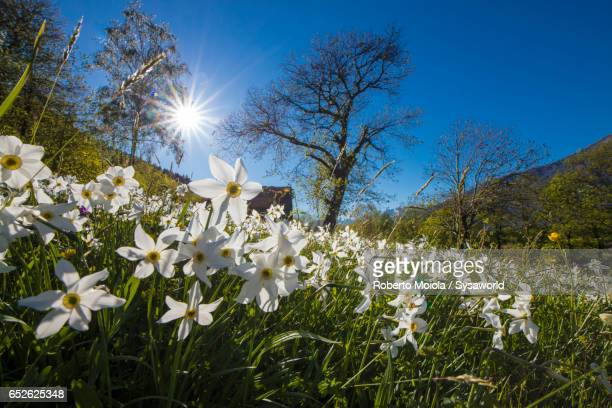 sun shines on daffodils valtellina lombardy italy - narcissus mythological character stock photos and pictures