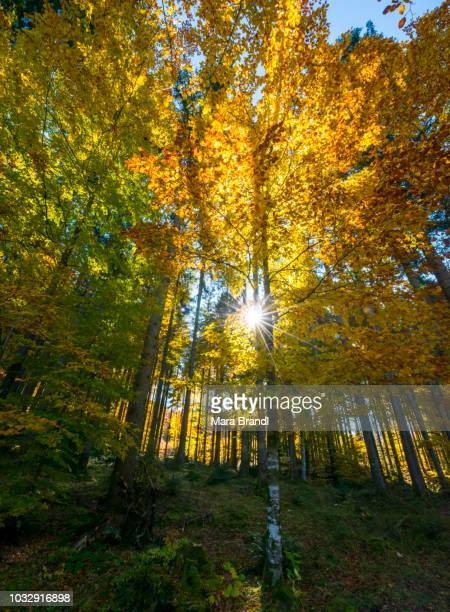Sun shines through colorfully autumn leaves, forest in autumn, Walchensee, Upper Bavaria, Bavaria, Germany