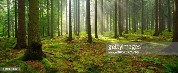 sun shines through light spruce forest, soil overgrown with moss and fern, mountain range deister, lower saxony highlands, niedersachsen, germany - muschio flora foto e immagini stock