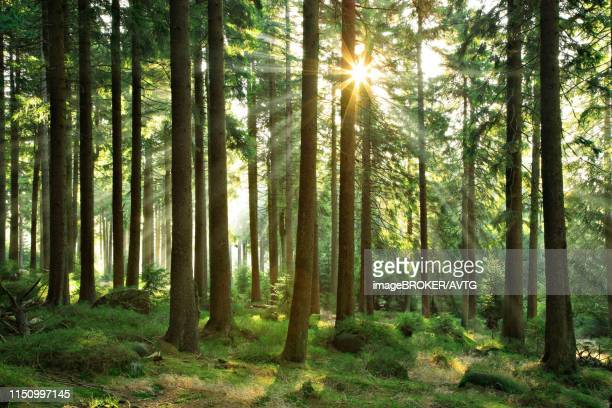 sun shines through near-natural spruce forest with boulders, harz national park, core zone, saxony-anhalt, germany - nature reserve stock-fotos und bilder