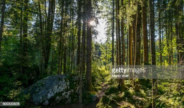 sun shines through the forest, magic forest, ramsau, berchtesgaden national park, berchtesgadener land, upper bavaria, germany - berchtesgadener land stock photos and pictures