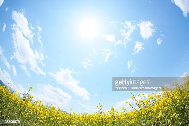 Sun shining in the sky above a field of oilseed rape blossoms. Iiyama, Nagano Prefecture, Japan